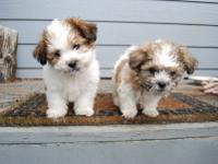 Imperial size shihtzu girl, AKC reg grey and white,