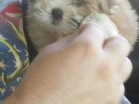 I have 4 tiny male shihtzus 2 solid liver color , one