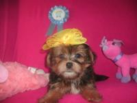 small Shorkie puppies they can now go house. They are a