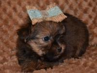 NOW 500.00-- TINY SAILOR-- Shorkie Male Designer Breed-