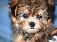 Gorgeous tiny Shorkie puppies. 1 male, golden and