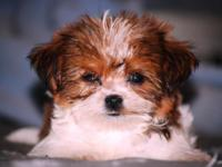 Gorgeous tiny MALE Shorkie puppy. He is golden and