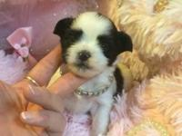 Completely Adorable little Female shorkie Dad is 4lb