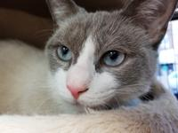 Tiny is a beautiful Snowshoe female. Approximately 2