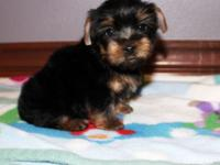 Tiny t-cup yorkie child available for sale to loving