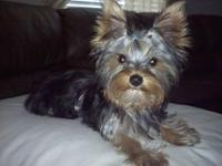 Hello... I have a gorgeous, female Yorkie. She is the
