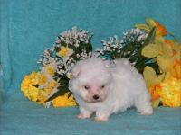 Pretty baby doll face, **T-Cup & Toy Maltese** Male &