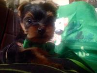 An ADORABLE TINY MALE YORKIE PUPPY. AKC, CHAMPION BLOOD