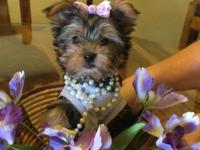 Pick of litter tiny teacup Yorkie female 12 weeks and