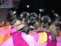 Gorgeous baby doll face Yorkies! They have beautiful