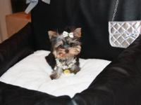 Gorgeous Traditional black and tan Yorkie woman offered