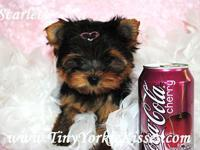 www.TinyYorkieKisses.com. Kari . Searching for a toy