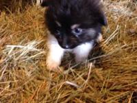 Tiny teacup blk tri child child. Born 8/22/14. Weight