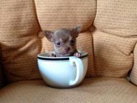 Teacup Chihuahua Baby - Goldenacresdogs com