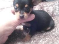 He is a tiny little Teacup Chihuahua black and tan boy