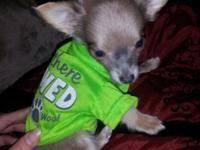 8 week old male long hair chihuahua utd on shots and