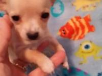 1 tiny Chihuahua pup tan with white markings...also