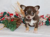 Shooting Stars Chihuahuas has an exceptional litter of