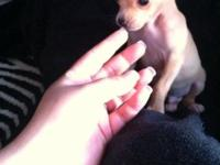 10 week old gorgeous fawn male chihuahua . He's