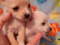 2 tiny Chihuahua pup 1 white 1 cream ..very tiny