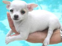 GORGEOUS ! Very Confident and Friendly TINY TEACUP