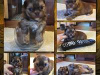 Yorkie + Imperial Shih Tzu = Teeny Tiny Shorkie! This