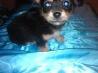 tiny female Chihuahua long hair black and tan she is 8