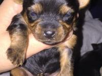 I have one female puppy available, she will be really