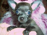 We have a tiny teacup Chihuahua now available. His