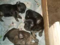 I have 3 female CKC Registered Longhaired Chihuahua
