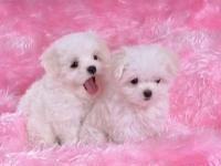 I have two stunning teacup maltese puppies! Both are