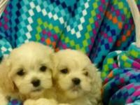 Sweet & tiny Malti-Poo(Maltese/Poodle mix) puppies ALL