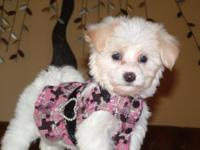 Tiny teacup maltipoo-2.5 lbs at 9.5 wks. All set to go!