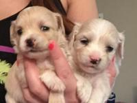 Hi there we have a litter of X tiny teacup maltipoo