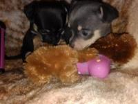 tiny teacup Chihuahuas will be ready in 1 week will be