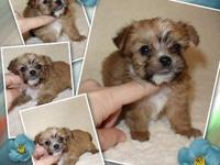 ". Teacup Yorkie + Maltese=""Morkie"" Designer Puppies"