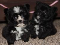 I have 2 stunning morkie puppies, one child and one