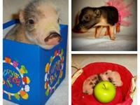 True micro mini (teacup) piglets! They will mature at
