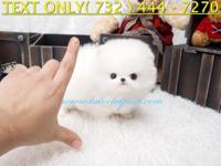 Tiny Teacup Pomeranian Easily Befriend Other Dogs &