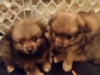 Tiny Teacup Pomeranian Puppies. 3 wolf sable males
