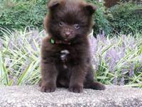 Pomeranian puppies registered. Parents only 4-6 lbs.