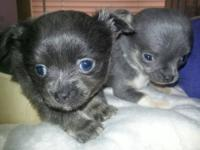 TINY TEACUPS RARE BLUE TRI COLORED CHIHUAHUA CKC