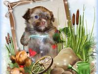 "Tiny Teacup RARE Chocolate Gold Dust Shorkie"" Puppies"