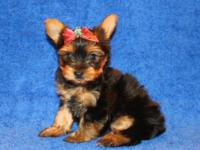 Milo is one gorgeous puppy! He is a Tiny Teacup Size.He