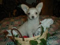 SNOWY IS A TINY TEACUP MALE CHIHUAHUA(LONG COAT). SWEET