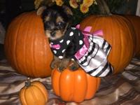 Hi. I have one female Teacup Yorkshire Terrier puppy