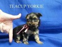 TeacupYorkie female, accepting deposit. Teacup Female.