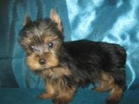 Micky is a teacup yorkie male 5-months old. He has been