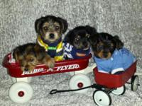 Hi, I have 4 teeny tiny Yorkies that will be ready to