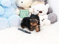 name: Bello  (Teacup Yorkie) - Male DOB: 11 /